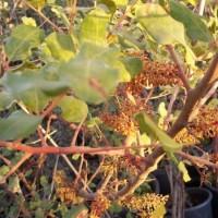 Algarrobo en Maceta de 35 Cen.8/10-2,50