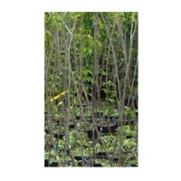 Almendro Guara en Maceta de 22 Cm