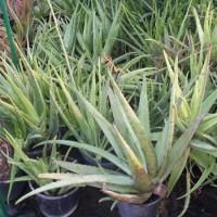 Aloe Vera en Maceta de 20 Centímetros