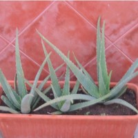 Aloe Vera , Planta 25 Cm.