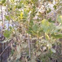 Arbol de Quercus Ilex en Maceta de 25 Cen