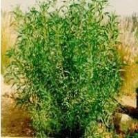 Arbusto de Myoporum m.25
