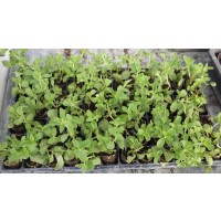 Bandeja 40 Plantas Stevia