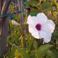 Bignomia Pandorea Jazminoides en Maceta de 20