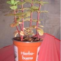 Hierbabuena, Hierbasana, en Maceta de 14 Cent