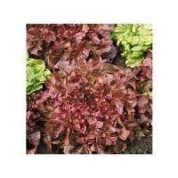 Lechuga Red Salad Bowl. 2400 Semillas.