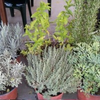 Lote 12 Plantas Aromáticas Iguales O Surtidas