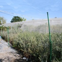 Olivo Alfafarenca en Maceta de 20 Cm