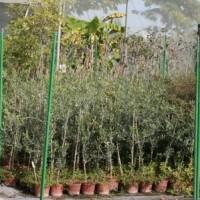 Olivo Cornicabra en Maceta de 17 Cm