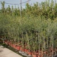Olivo Hojiblanca en Maceta de 17 Cm