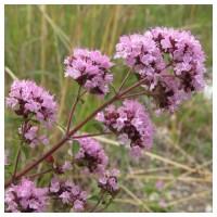 Origanum Vulgare. Aromatica Oregano 3640 Semi