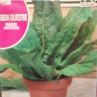 Planta Acedera en Maceta de 14 Cm