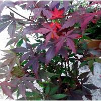 Planta Arce Japonés. ACER Palmatum Atropurpur