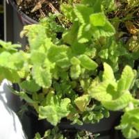 Planta Citronela/hierba Limon en m.14