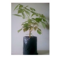 Planta de Frambuesa Remontante. Envase