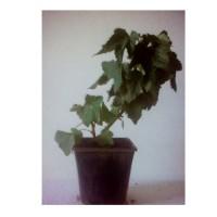 Planta de Grosella Ribes Nigrum Var. Andega. Envase