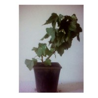 Planta de Grosella Ribes Rubrum Var. Junifer. Envase