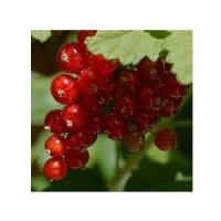 Planta de Grosella Ribes Rubrum Var. Junifer.