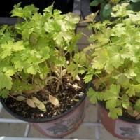Planta de Perejil en Maceta de 14 Centímetros