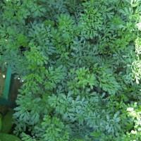 Planta de Ruda en Maceta de 14 Centímetros