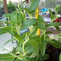 Planta de Stevia Rebaudiana en Maceta de 9x9