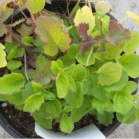Planta de Valeriana en Maceta de  11 Cen.