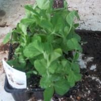 Planta Guisante Redondo en Bandeja de 12 Unidades