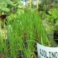 Planta Horticola Ajolino en Maceta de 14 Cm