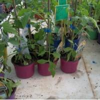 Planta Tomate Gigante Naranja en Maceta de 10 Centímetros