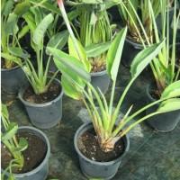 Planta Tropical de Strelitcia Regian en Maceta de 25 Cen