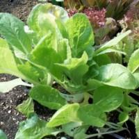 Plantas Lechuga Salanova en Bandeja de 6 Unidades