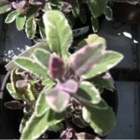 Salvia Tricolor en Maceta de 14 Centímetros