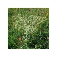 Semillas Eryngium Campestre 50 Ud (Pefc)