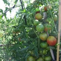 Semillas Tomate Palosanto. 1000 Semillas