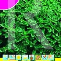 Sobre Semillas Aromaticas-Albahaca Finvert