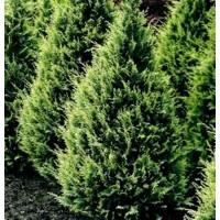 1 Gr Semillas de Cipres de Lawson, Chamaecyparis Lawsoniana