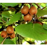 Pack de 5 Plantas Kiwis. 4 Femeninos Hayward