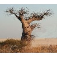 Semillas de Adansonia Digitata (Baobab)