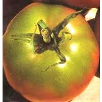 Tomate de Ensalada Arletta. 1 GR.