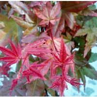 1 Planta Arce Japonés. ACER Deshojo Palmatum.
