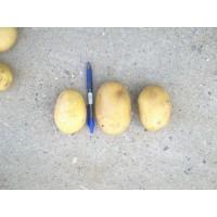 Patata Variedad Agria Ecologica