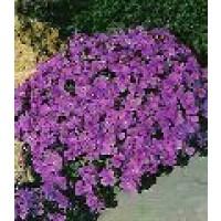 Semillas Aubrieta Purpura