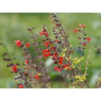Semillas de Salvia Roja. Coccinea Scarlet. 10