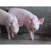Manteca de Cerdo