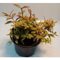 "Nombre: Hypericum Tricolor O ""hierbas de San Juan"""