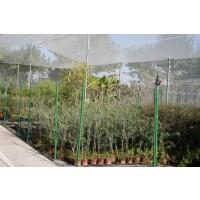 Olivo Arbequina en Maceta de 17 Cm