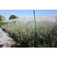 Olivo Picual en Maceta de 25 Cen