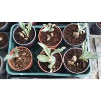 Planta de Alcachofa de Estacas de Alcachofera Tudelana m.17