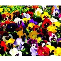 Semillas de Pensamiento Variado. Viola Cornuta. 10 Gramos