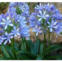 Agapanto Azul. Flor del Amor, Lirio Africano. en Contenedor de 2 Litros. Altura: 30/35 Cms. 3 Unidades.